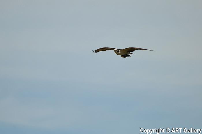 Osprey 4, Upper Newport Bay, CA.