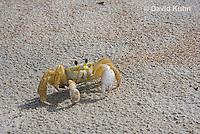 0604-0907  Ghost Crab (Sand Crab) on Beach at Outer Banks in North Carolina, Ocypode quadrata  © David Kuhn/Dwight Kuhn Photography