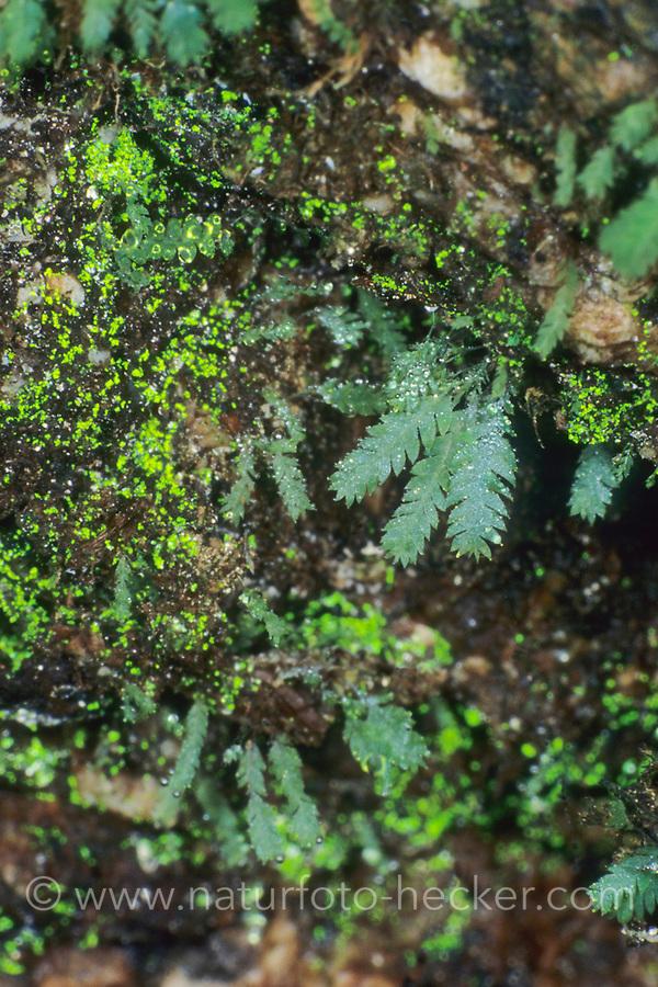 Leuchtmoos, Leucht-Moos, Schistostega pennata, goblin gold, Dragon's gold, luminous moss, luminescent moss