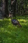 Tom turkey in a northern Wisconsin woodland.