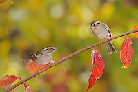 Chipping Sparrow (Spizella passerina), adult on Crape Myrtle (lagerstroemia), New Braunfels, San Antonio, Hill Country, Central Texas, USA