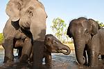 Domestic Indian elephants (Elephas maximus) used for riding / taking tourists, bathing, Bandhavgarh NP, India