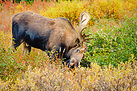 moose, Alces alces, bull scratching its antlers on willow bushes in Denali National Park, interior, Alaska, USA