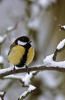 Kohlmeise, im Winter bei Schnee, aufgeplustert als Kälteschutz, Kohl-Meise, Meise, Parus major, great tit