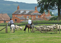 Ponies collecting sheep, Dumbleton, Evesham, Worcestershire.