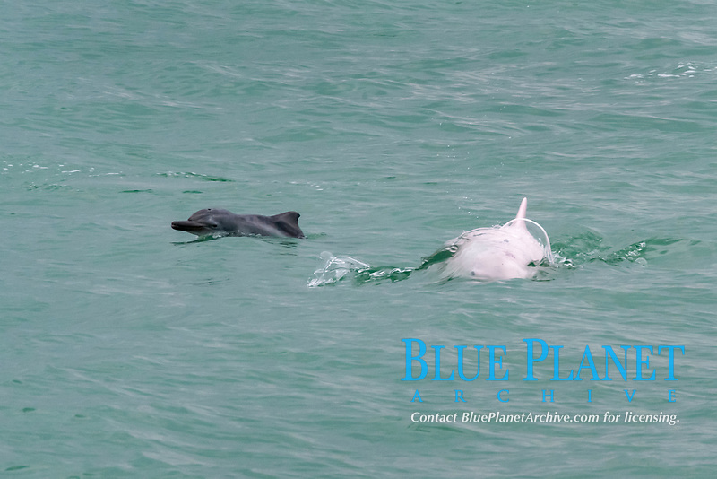 Chinese white dolphin or Indo-Pacific Ocean humpback dolphin, Sousa chinensis, adult female and newborn calf surfacing, Hong Kong, Pearl River Delta