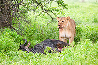 iioness (Panthera leo) eating a wildebeest carcass (Connochaetes taurinus), Ndutu, Ngorongoro Conservation Area, Serengeti, Tanzania, African