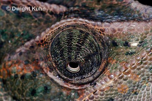 CH51-714z Female Veiled Chameleon, note eye rotation, Chamaeleo calyptratus