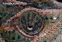 CH51-714z Female Veiled Chameleon, note eye rotation, Chamaeleo calyptratus