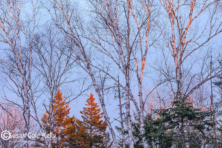 Sunset light on birch and spruce trees in Hancock County, ME, USA