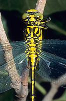 Asiatische Keiljungfer, Gomphus flavipes, Stylurus flavipes, river clubtail, yellow-legged dragonfly, Le gomphe à pattes jaunes, Gomphidae, Flussjungfern, Flußjungfern