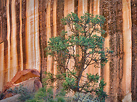 Desert varnish rock formation and pine tree at Capitol Reef National Park, Utah