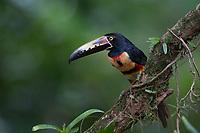 Collared, Aracari, Araçari, (Pteroglossus, torquatus), male, Costa Rica, Caribbean, Gulf
