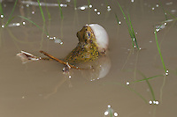 Couch's Spadefoot (Scaphiopus couchii), adult at night calling vocal sac inflated, Laredo, Webb County, South Texas, USA