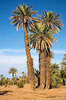 Ksar Elkhorbat, Morocco.  Date Palm Trees.