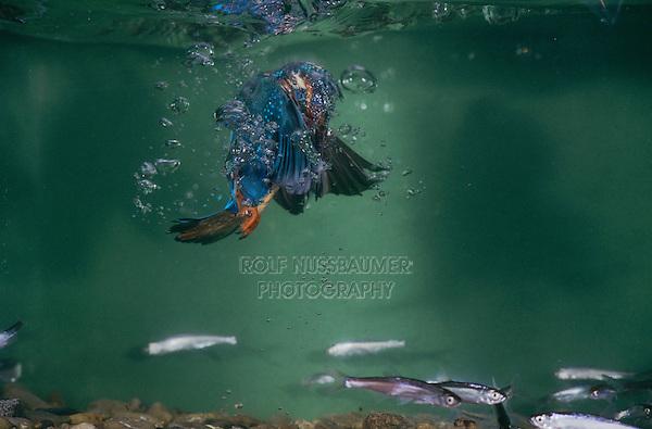 Common Kingfisher, Alcedo atthis,male under water catching fish, Zug, Switzerland, Europe