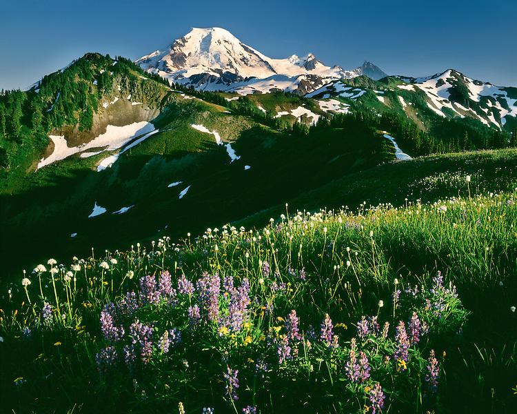 Evening light on a field of wildflowers below Mt. Baker; Mt. Baker/Snoqualmie National Forest, WA