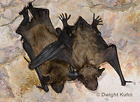 MA20-830z  Big Brown Bat 6 week and 4 week old young,  Eptesicus fuscus