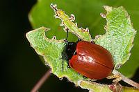 Pappelblattkäfer, Roter Pappel-Blattkäfer, Chrysomela populi, Melasoma populi, red poplar leaf-beetle, poplar leaf beetle, poplar beetle