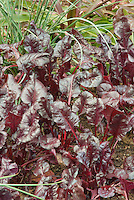 Leafy red tops of Beet Bull's Blood