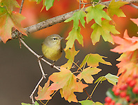 Orange-crowned Warbler (Vermivora celata), adult on autumn leaves of Bigtooth Maple (Acer grandidentatum), Hill Country, Central Texas, USA