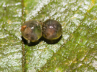 Rain Frog eggs, probably from Fitzinger's Rainfrog or Robber Frog, Craugastor fitzingeri, near Arenal Volcano National Park, La Fortuna, Costa Rica