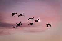 Seven Canada geese heading  west against a sunset painted sky, complete with airplane.