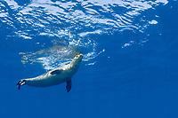 male Hawaiian monk seal, Neomonachus schauinslandi ( critically endangered endemic species ), breathing at surface, Lehua Rock, Niihau, Hawaii, USA, Pacific Ocean