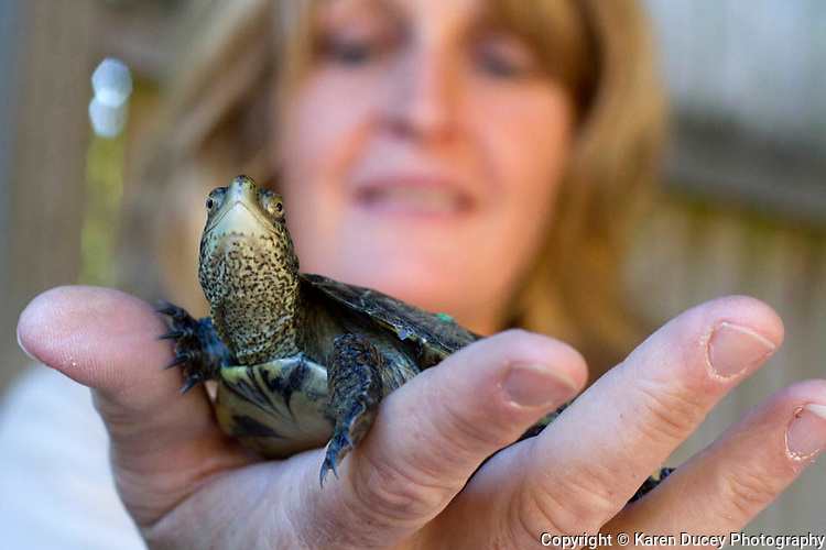 Michelle Tirhi from the Washington Department of Fish and Wildlife (WDFW) holds a western pond turtle.