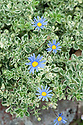 Felicia amelloides 'Variegata', mid August. Variegated blue daisy, an evergreen sub-shrub usually grown as an annual. It has small, ovate, green leaves with cream margins and in summer, produces single, light-blue, daisy-like flowers with yellow centres on wiry stems.