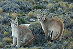 Mountain Lion (Puma concolor) six month old female and male cubs, Torres del Paine National Park, Patagonia, Chile