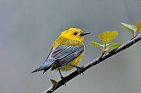 Male Prothonotary Warbler (Protonotaria citrea).  Great Lakes Region, May.