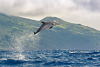 Atlantic spotted dolphin, Stenella frontalis, calf, jumping, leaping, Azores, Portugal, Atlantic Ocean