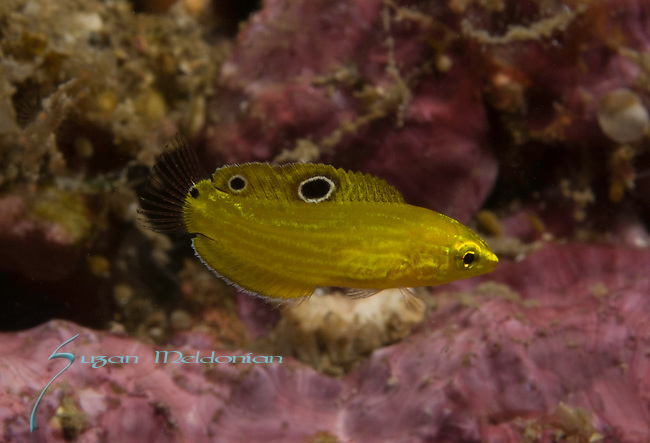 Halichoeres chrysus juv, Canary wrasse, ID by Kent Sorgon.