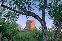 Fremont cottonwoods and Devils Tower<br /> Devils Tower National Monument<br /> Black Hills<br /> Wyoming