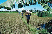 Philippines. Negros Island. Province of Negros Occidental, located in the  Western Visayas region. Barangay (village) San Enrique. Men carry on their heads bags (50 kg) of organic rice harvested in the fields. Rice growing.  Sustainable agriculture.  © 1999 Didier Ruef
