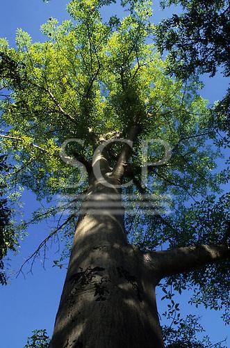 Zambia. Baobab tree (Adansonia digitata).