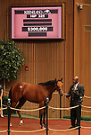 Hip #325 Harlan's Holiday - Soloing colt at the Keeneland September Yearling Sale.  September 11, 2012.