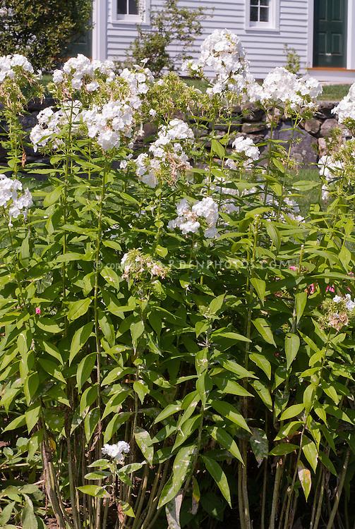 Phlox paniculata 'David' with powdery mildew