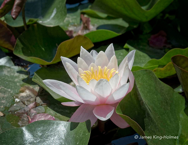 Flower of the European white water lily (Nymphaea alba) growing in the Bishop's Gardens, a public garden in Palma, Mallorca, Spain.
