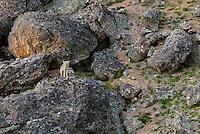 Wild Coyote (Canis latrans).  Western U.S., June.