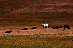 Lone white horse finds company in a pasture of black cows.