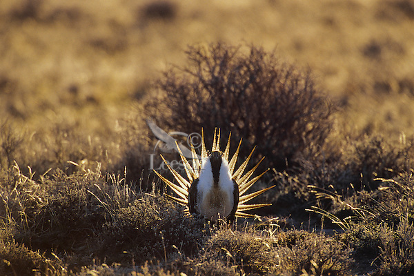 Male Sage Grouse strutting on lek during spring mating season.  Western U.S.