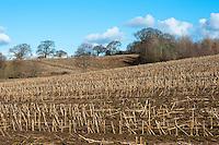 Maize stubble field, Cheshire.