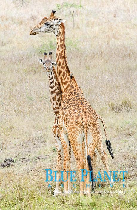 Masai Giraffe (Giraffa camelopardalis tippelskirchi), adult female with young, Nairobi National Park, Kenya, Africa
