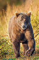 Female brown bear in the autumn grasses along the shores of Brooks River, Katmai National Park, southwest, Alaska.