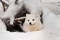 Europe/Finlande/Laponie/Kongäss: Renard polaire au Levi - Husky Park