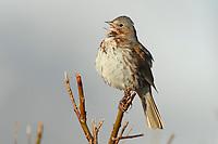 "Singing adult Fox Sparrow (Passerella iliaca) of the ""Red"" subspecies P. i. zaboria. Seward Peninsula, Alaska. May."