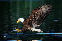 BE7807  Bald Eagle about to snatch fish from the water.  Pacific Northwest.  July.  (Haliaeetus leucocephalus)