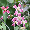 Clematis texensis 'Etoile Rose', mid August. A deciduous climber with single, swirled and bell-shaped red-pink flowers edged in white in summer and early autumn.